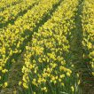 Scented Narcissi rows