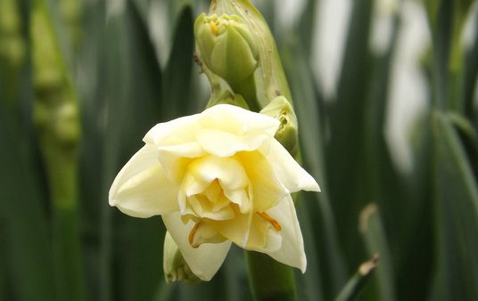 Scented Narcissi macro