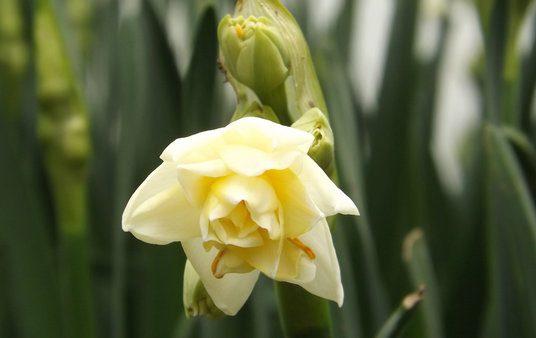 Scented Narcissi macro