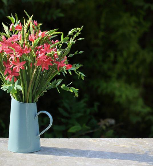 autumn Kaffir Lilies