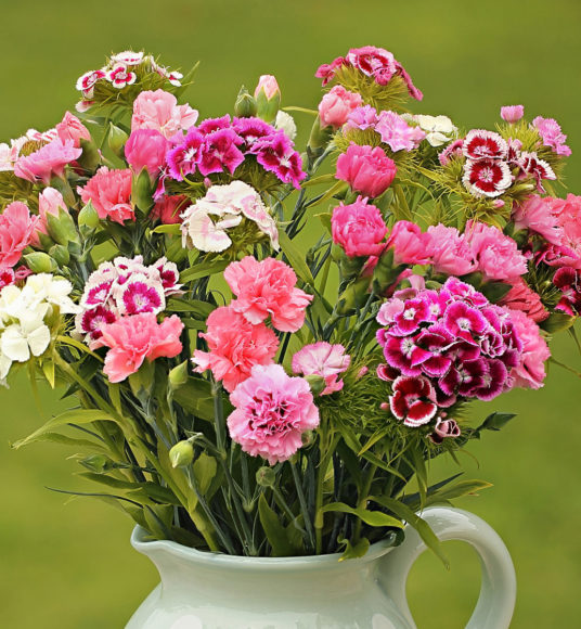 Sweet William and Pinks