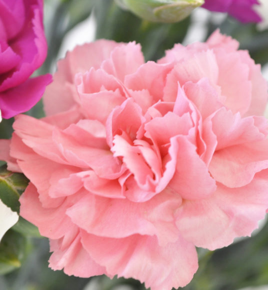 Scented pinks cornish blooms our scented pinks flowers are in flower from may october we grow a range of colours including pale pink white lilac purple and red mightylinksfo