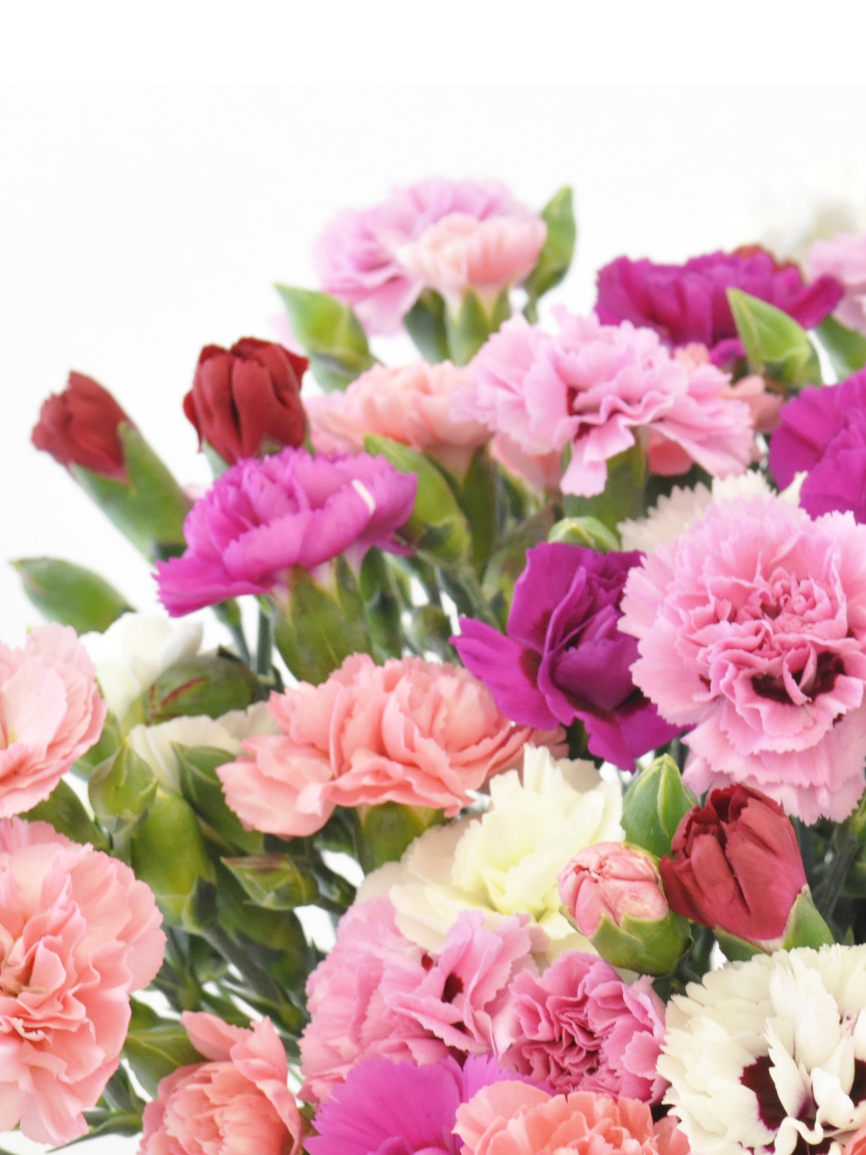 40 stems of scented pinks cornish blooms our scented pinks flowers are in flower from may october we grow a range of colours including pale pink white lilac purple and red mightylinksfo Choice Image